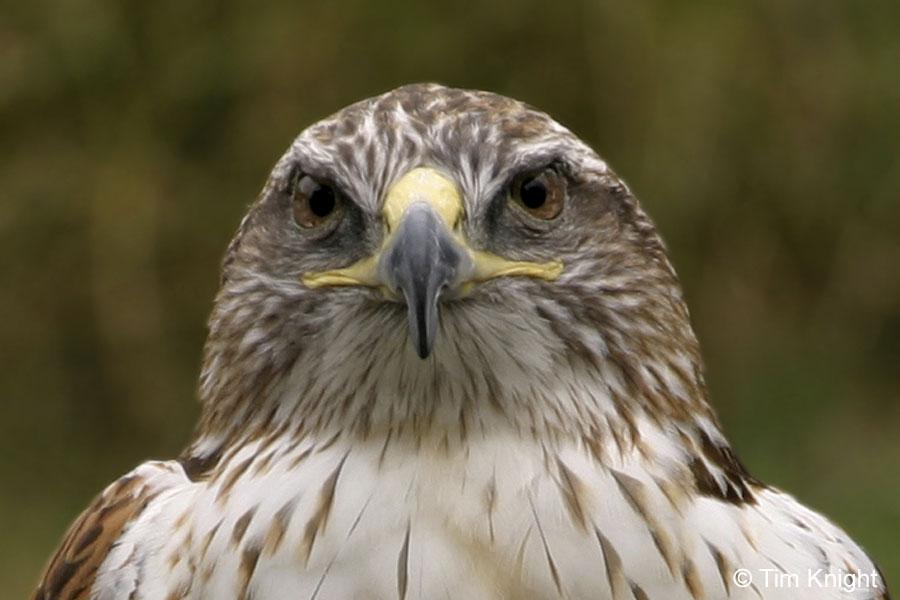 Black Hawk Bird