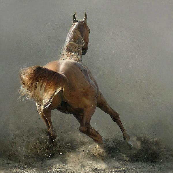Beautiful Arabian Horses Wild